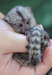 FFB Capuchin pygmy marmoset for sale
