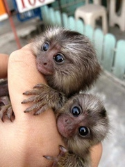 KEWNB Pairs Capuchin pygmy marmoset for sale